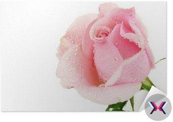 Plakát Pixerstick Růžové růže izolovaných na bílém