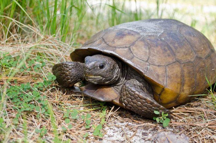 Gopher Turtle On Honeymoon Island Florida Wildlife