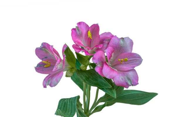The Meaning Behind 10 Popular Valentine S Day Flowers Peruvian Lilies Friendship Flowers Flower Meanings