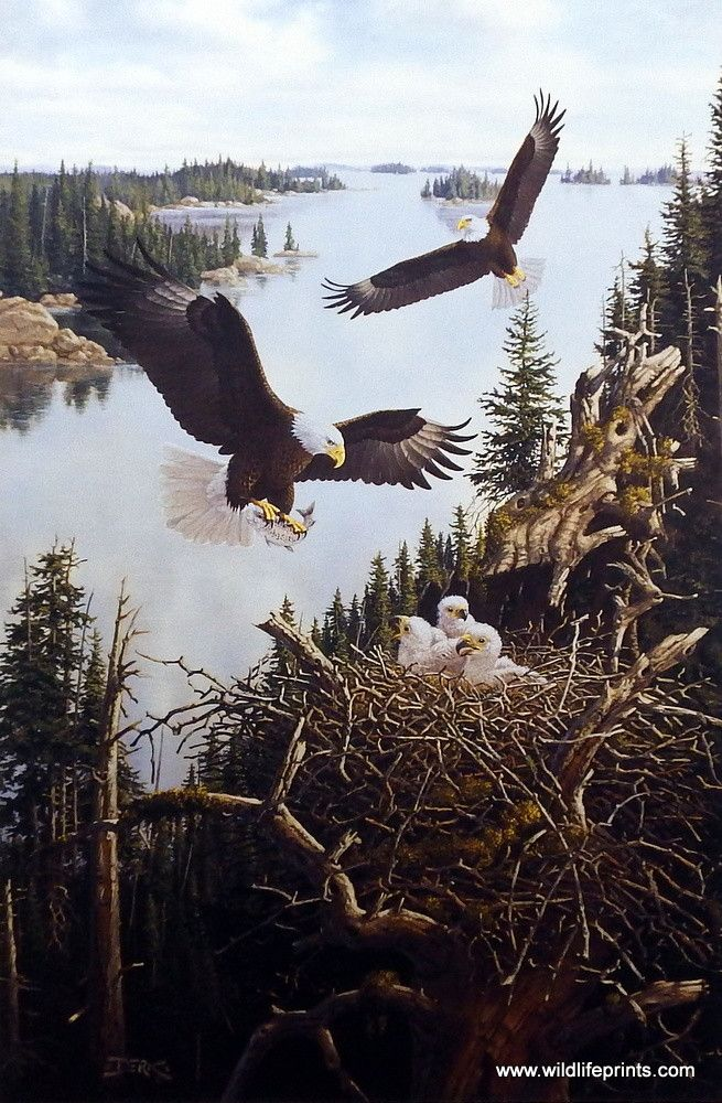 In Derk Hansen's print DAWN OF A NEW GENERATION a pair of eagles fly high over the mountain trees protecting the young ones in their nest. Available in three different open edition sizes.