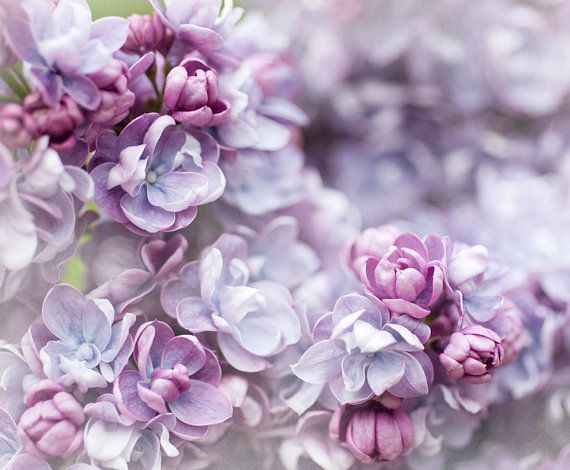 Floral Photography Double Lilac Blossom Fine