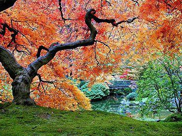 supplierMaple Trees, Three Trees, Trees Hugger, Beautiful Maple, Trees To Plants, Beautiful Japanese