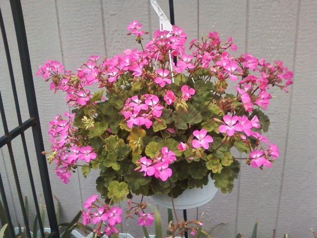 86 best winterizing plants images on pinterest flower gardening flowers garden and gardening - Overwintering geraniums tips ...