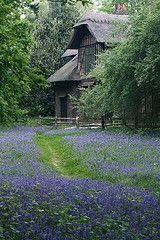 Bluebells in the wild.  Our nearest place to see these is Queen Charlotte's Cottage in Kew Gardens.  A truly beautiful spot.