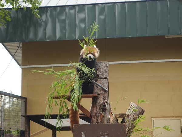 Super cute animals, doing super cute things at Asahiyama Zoo, Hokkaido http://www.cheapojapan.com/super-cute-animals-doing-super-cute-things-asahiyama-zoo/