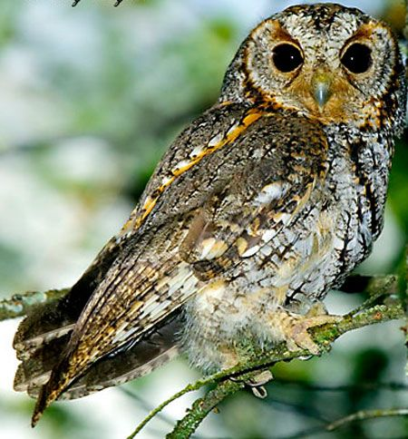 Flammulated Owl (Psiloscops flammeolus) | Frinvelis jishebi | ფრინველის ჯიშები
