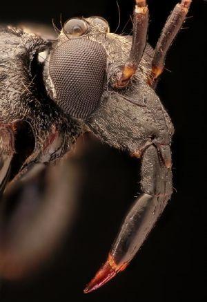 Incrível: Conheça os insetos assassinos que atacam suas vítimas e se vestem com os cadáveres | Jornal Ciência