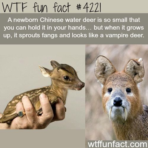 Baby Chinese water deer is cute…-  WTF fun facts