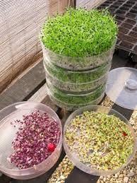 Cualquier semilla de leguminosa o grano de cereal puede ser germinado, aunque los más apreciados por su ternura y buen sabor son los brotes de: legumbres (porotos mung, soja, alfalfa), cereales (trigo, cebada) y también de berro, rábano, calabaza, girasol, lino, sésamo, etc