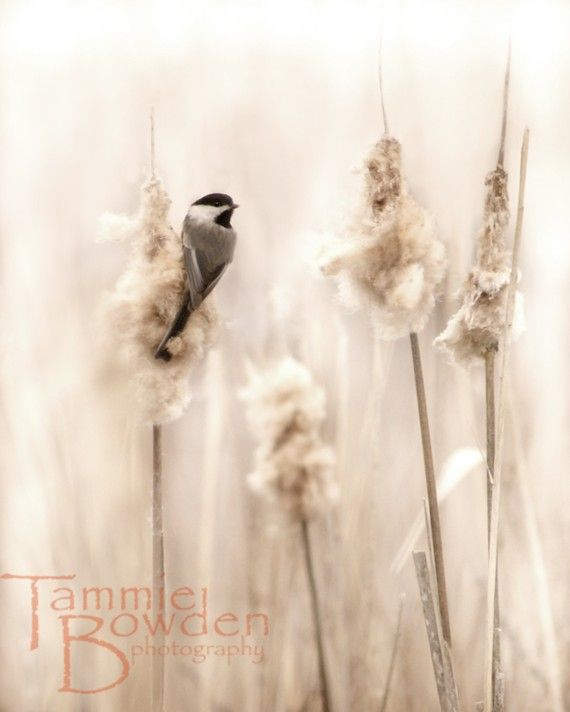 Chickadee in the Marsh  Original Photograph by TammieBowdenPhoto, $28.00