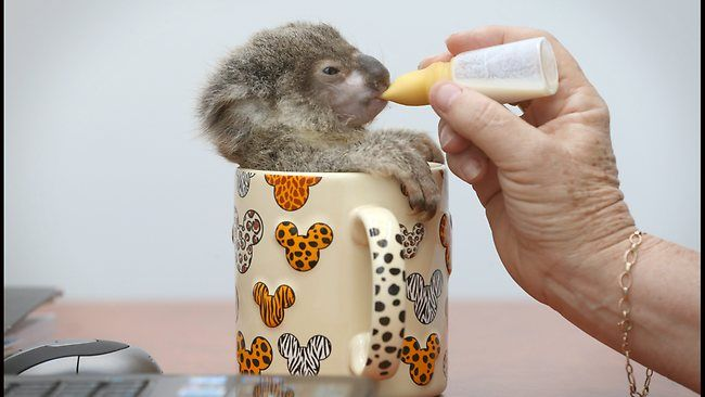 Baby koala in a coffee mug! I don't know the context. I