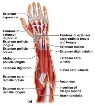 Deep Muscles of the arm | Anatomy And Cell Biology 104 > Lisa > Flashcards > Chapter 11: Muscles ...