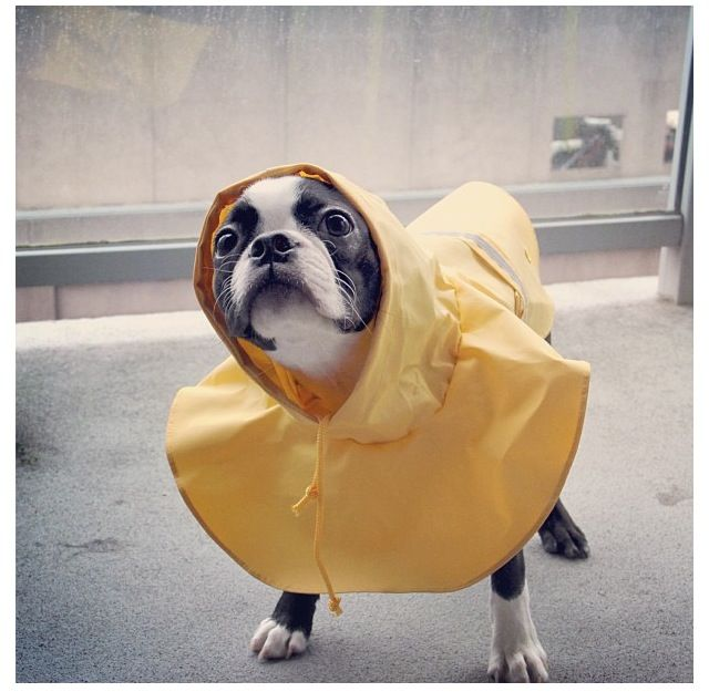 Ready to play in the rain.  Need this....my Boston refuses to go out in the rain....a problem when you have a really wet summer.