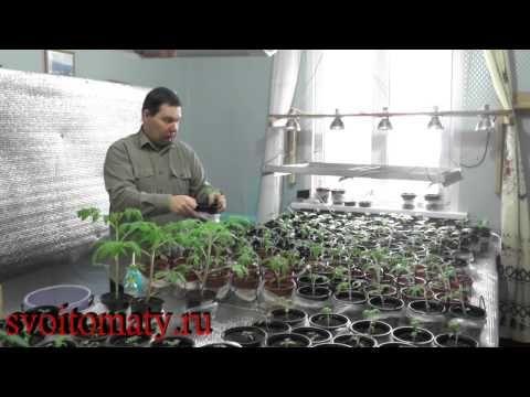 Подкормка и уход за рассадой