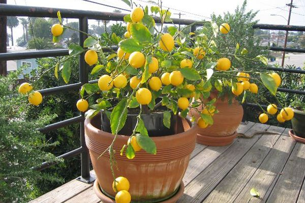 Veja algumas espécies de árvores frutíferas para pequenos jardins e colha a fruta do pé na sua varanda!