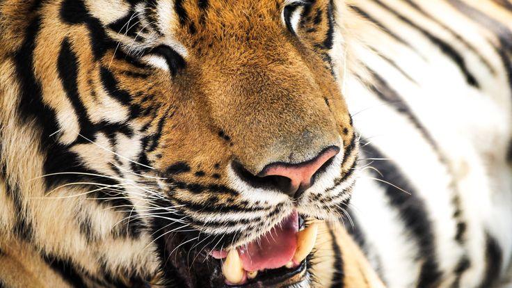 Imagene de tigre HD 4k para pc wallpaper