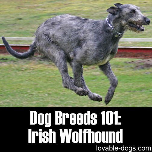Dog Breeds 101: Irish WolfHound►►http://lovable-dogs.com/dog-breeds-101-irish-wolfhound/?i=p