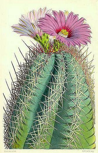 Cactus: Echinocactus Rhodophthalmus, Mexico     19th century