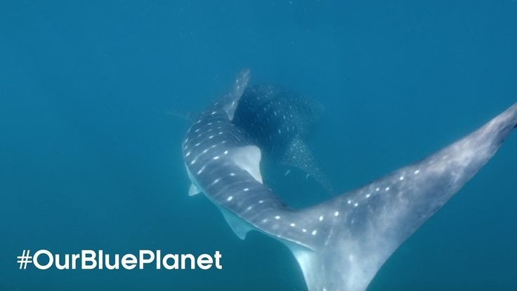 Tagging the Largest Shark on Earth #OurBluePlanet  - BBC Earth
