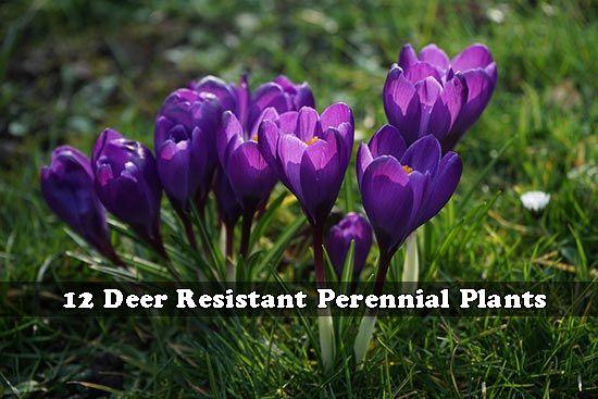 17 Best Ideas About Deer Resistant Perennials On Pinterest