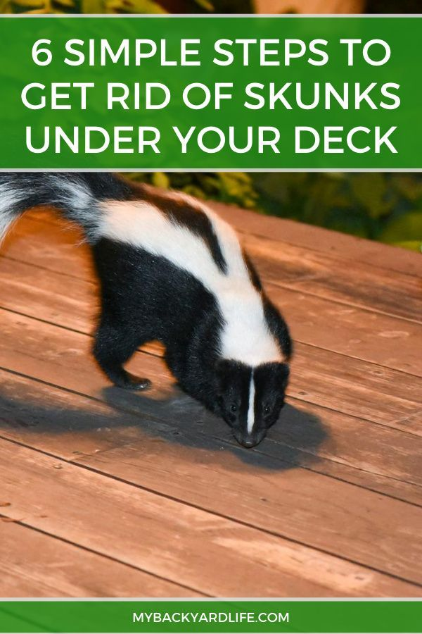 Get Rid Of Skunks Under Your Deck In 6 Simple Steps Getting Rid Of Skunks Skunk Deck
