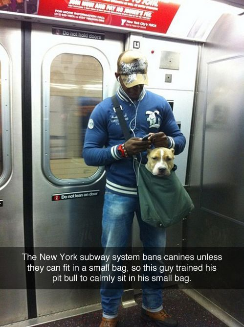 The New York subway system bans canines unless they can fit in a small bag, so this guy trained his pit bull to calmly sit in his small bag!
