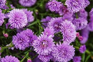 Ecco la guida completa per coltivare gli Astri settembrini con il metodo #biodinamico.  #fiori #bio #giardino