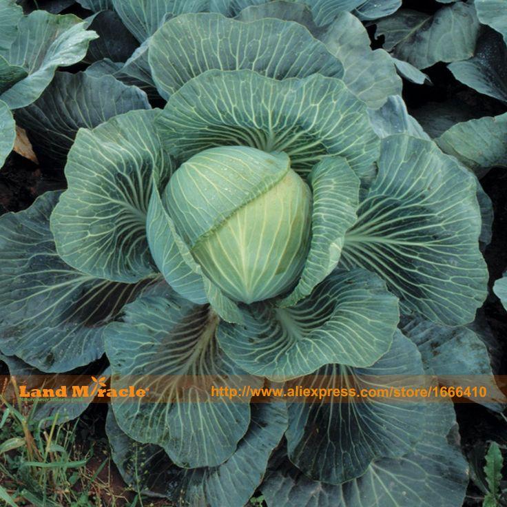 Cabbage U0027Kilatonu0027 Hybrid (Autumn) From Thompson U0026 Morgan   Experts In The  Garden Since 1855
