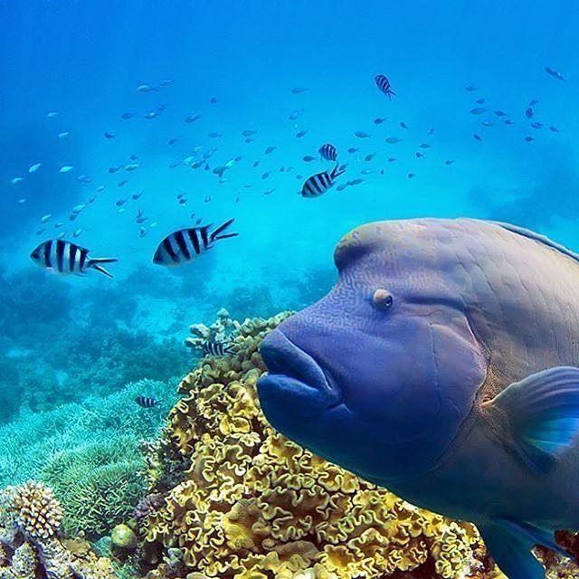 En Maori Wrasse poserer på Great Barrier Reef  Foto: @whitsundaysphotography #greatbarrierreef #ferie #sommerferie #tropiskefarvann #undervannsfoto by australiareiser http://ift.tt/1UokkV2
