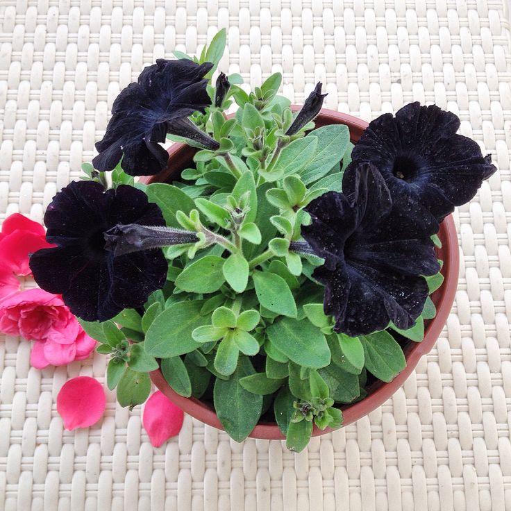 Petunya :) Hem de siyah... Petunia/Blackpetunia