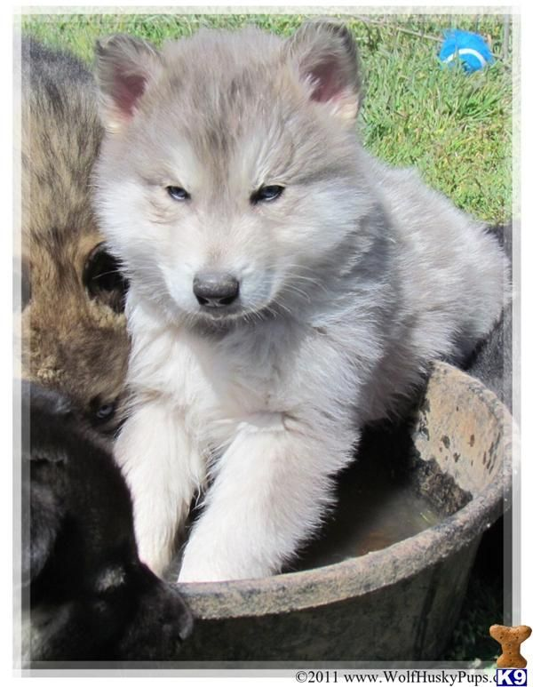 Black Wolf Hybrids For Sale Rare Blue Silver Wolf Hybrid Pups