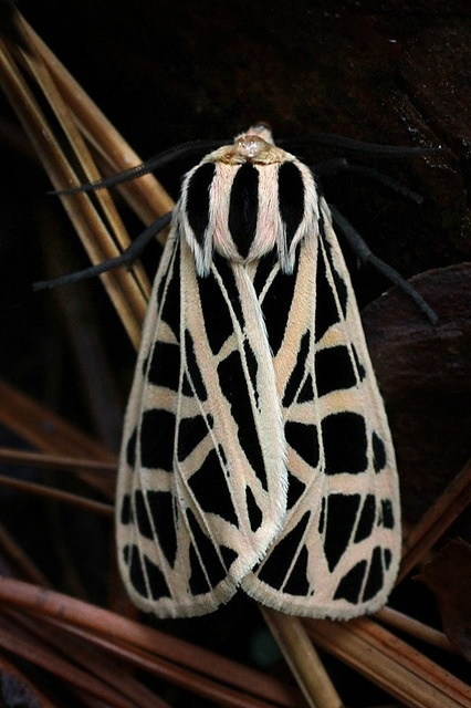 Beautiful black and white Moth