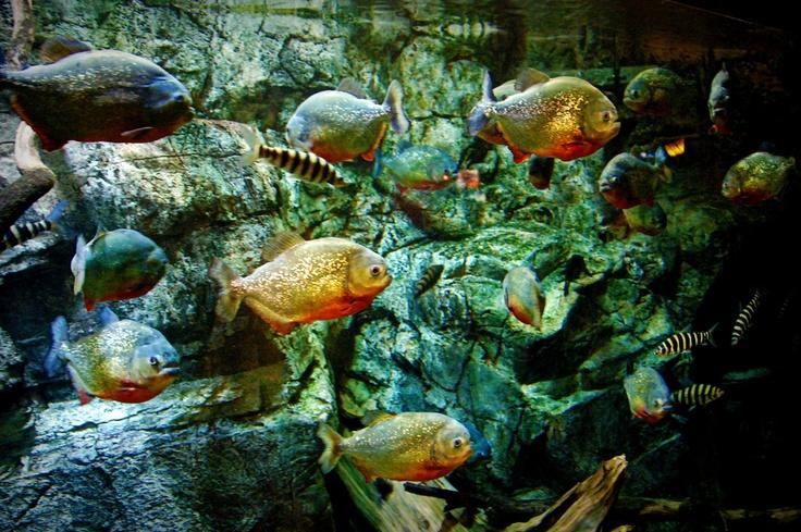 65 best piranha fish images on pinterest for Piranha fish tank