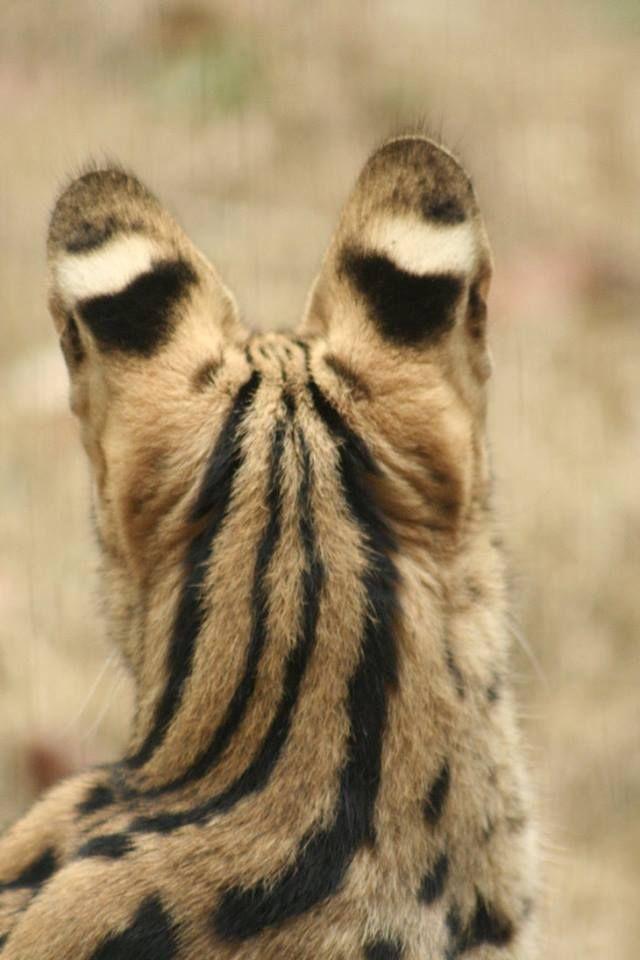 Serval -  #serval #feline #animal #cat #wildlife #wildanimal #wildlifephotography