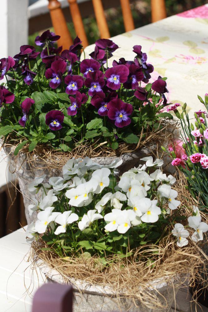 Orvokit (Viola) Orvokit kylvetään puutarhoilla tammikuussa ja myydään kukkivina taimina alkukesästä. Sesonki on kuumimmillaan heti vapun jälkeen. Kotipuutarhassa orvokit kylvetään siemenistä loppukesällä ja ne suojataan talveksi, jolloin kukinnasta saa nauttia seuraavana kesänä. Orvokkikestää kylmää ja kukkii ahkerasti. Kukkien väriskaala on laaja ja kukan koko vaihtelee lajikkeesta riippuen lantin kokoisesta lapsen kämmenen kokoiseen.