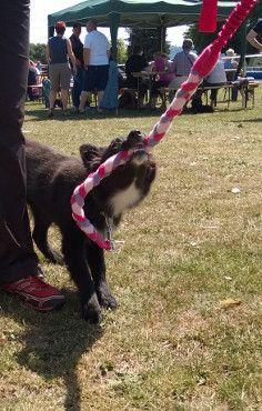 Welpen-Alarm! Happy bekam eine Fleece-Leine mit Bungee-Griff - so sweet :-) Hier kannst du diese Leine kaufen: http://www.fiveneeds.de/store/hund/ausruestung/leinen/60/fleece-leine-mit-bungee-griff