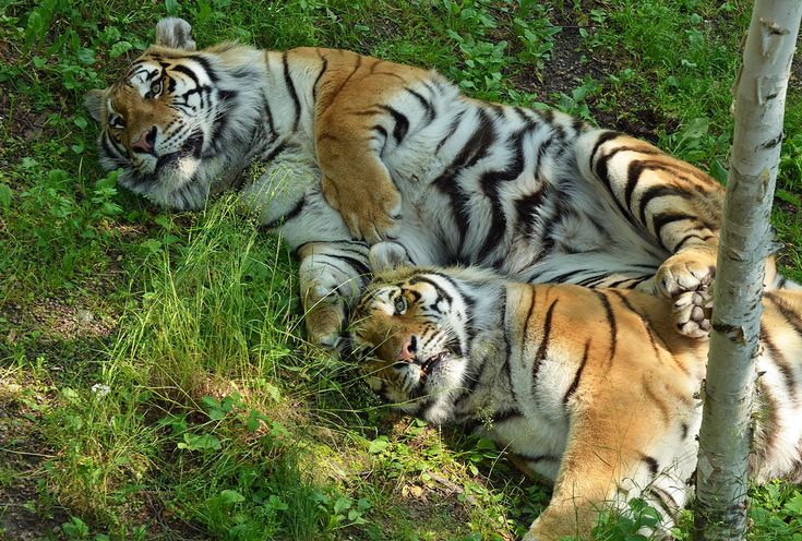 Tigers by jamia54's on Flickr.