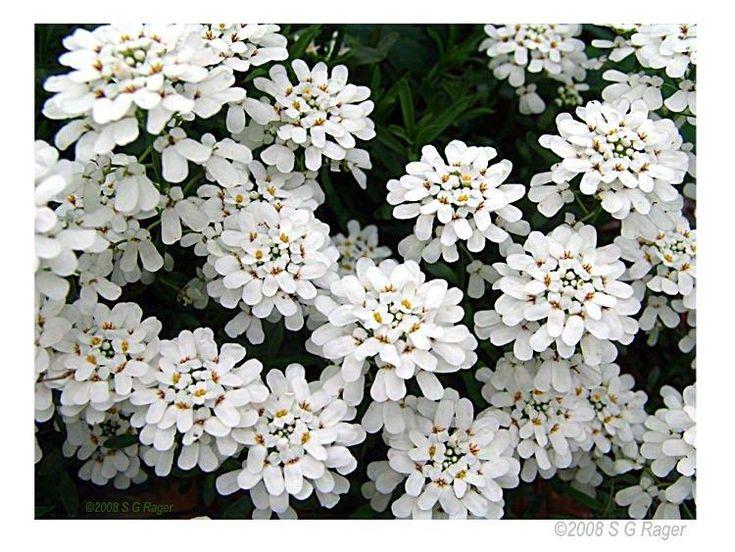 Цветы фото садовые белые низкие