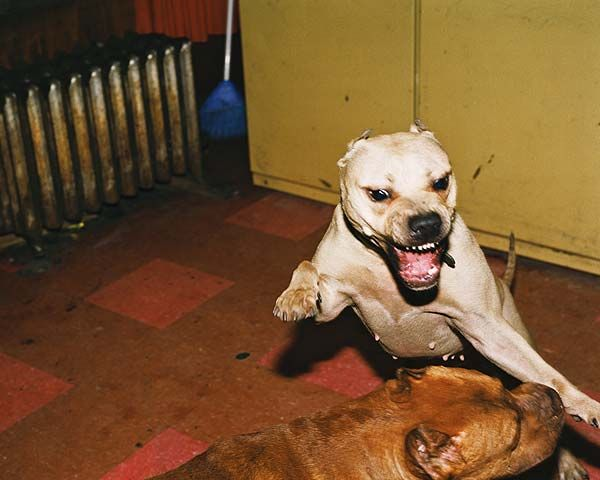 Dogo Argentino vs Pitbull | Dogo Vs Pitbull | Dogo Vs ...