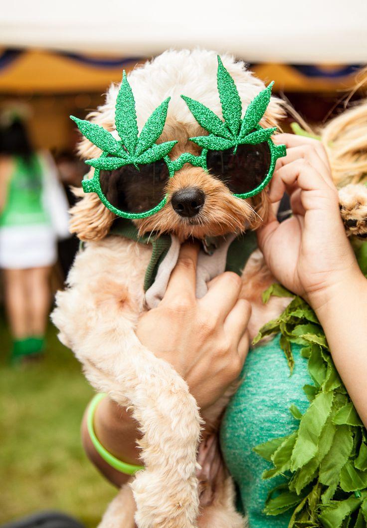 Is Medical Marijuana a Viable Option for Your Pet? Marijuana / Cannabis / News