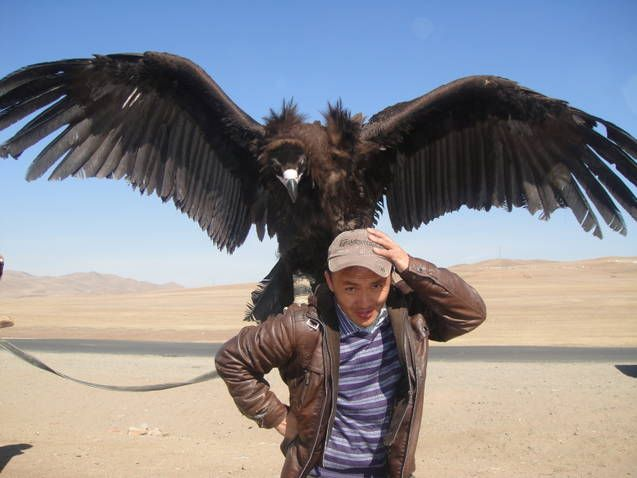 Largest flying bird in the world andean condor - photo#14