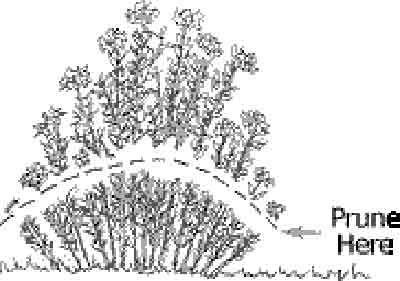 Nome comum: Alfazema. Nomes populares: Alfazema, Lavanda, Lavandula, NardoQueridos amigos, As alfazemas são sem dúvida uma das plantas favoritas e que uti