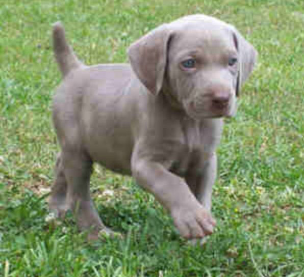 Weimaraner Dogs Blue For Sale