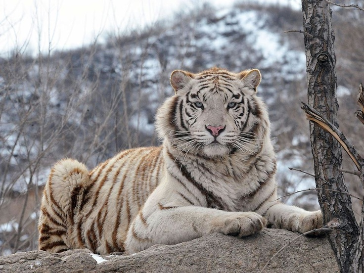 44 best images about tigres on Pinterest | Jaguar, Jim ...