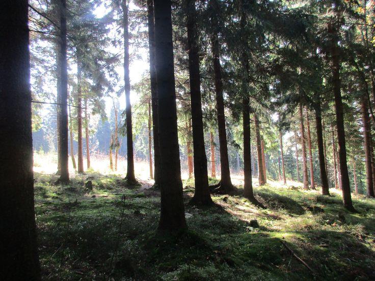 Les u Blatenského vrchu - Krušné hory