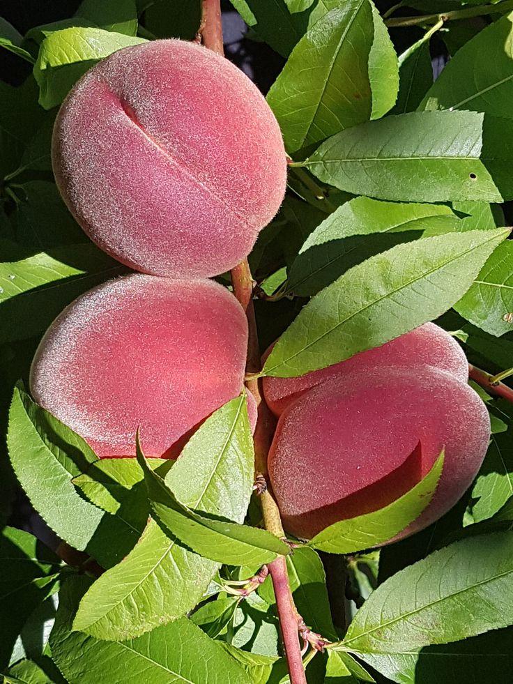 Høstlykke i frukthagen med fersken og druer.