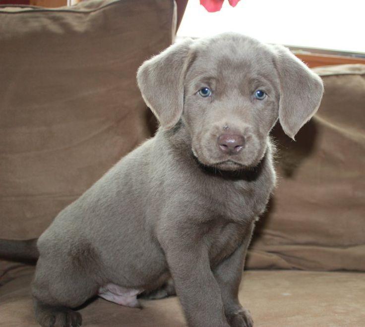 Silver Labrador Retrievers Kendall's Male, No Collar