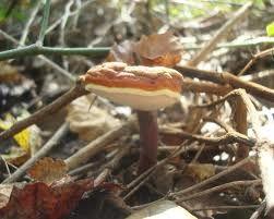 Η ποιότητα του άγριου Reishi είναι αδιαμφισβήτητη. Τα ξερά μανιτάρια δεν έχουν τη δυναμική όπως τα φρέσκα. Αυτό οφείλεται στο γεγονός ότι κατά τη συγκομιδή του κορμού των μανιταριών η περιεκτικότητα των ενεργών συστατικών τους έχει μειωθεί. http://ganoderma-lucidumdxn.blogspot.gr/
