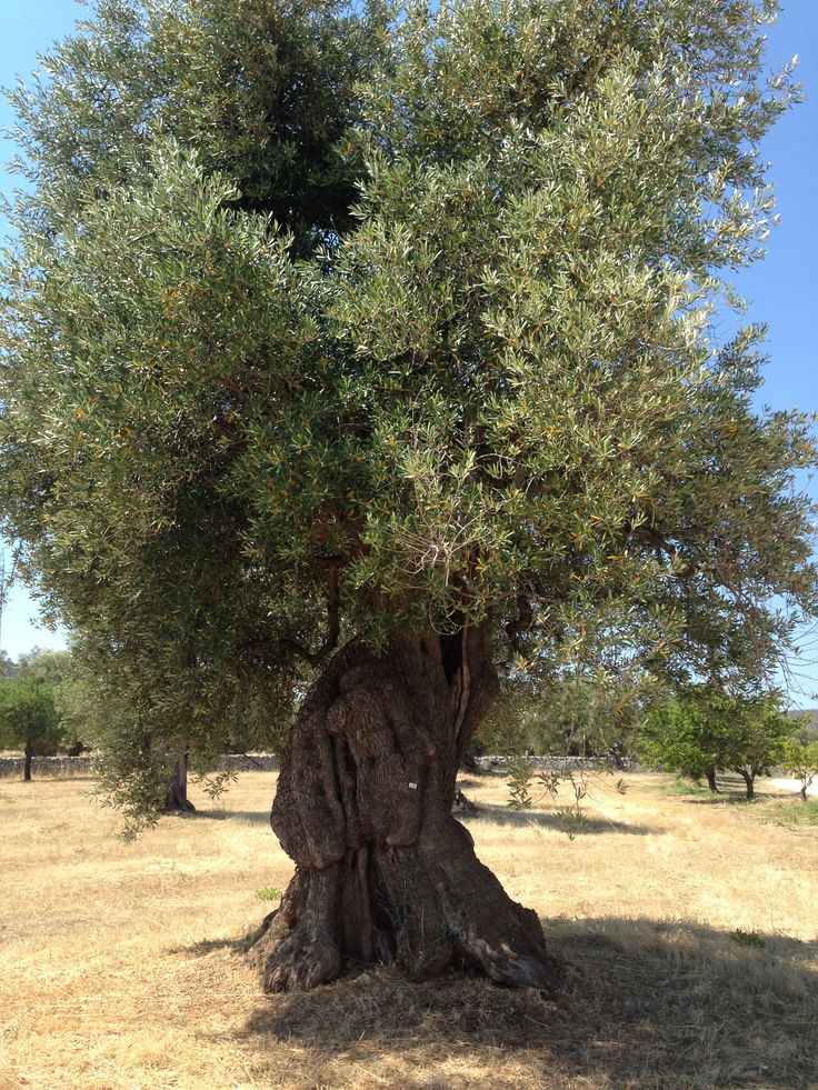 Menu For Olive Garden: Two Thousand Year Old Olive Tree Thriving In Puglia, Italy