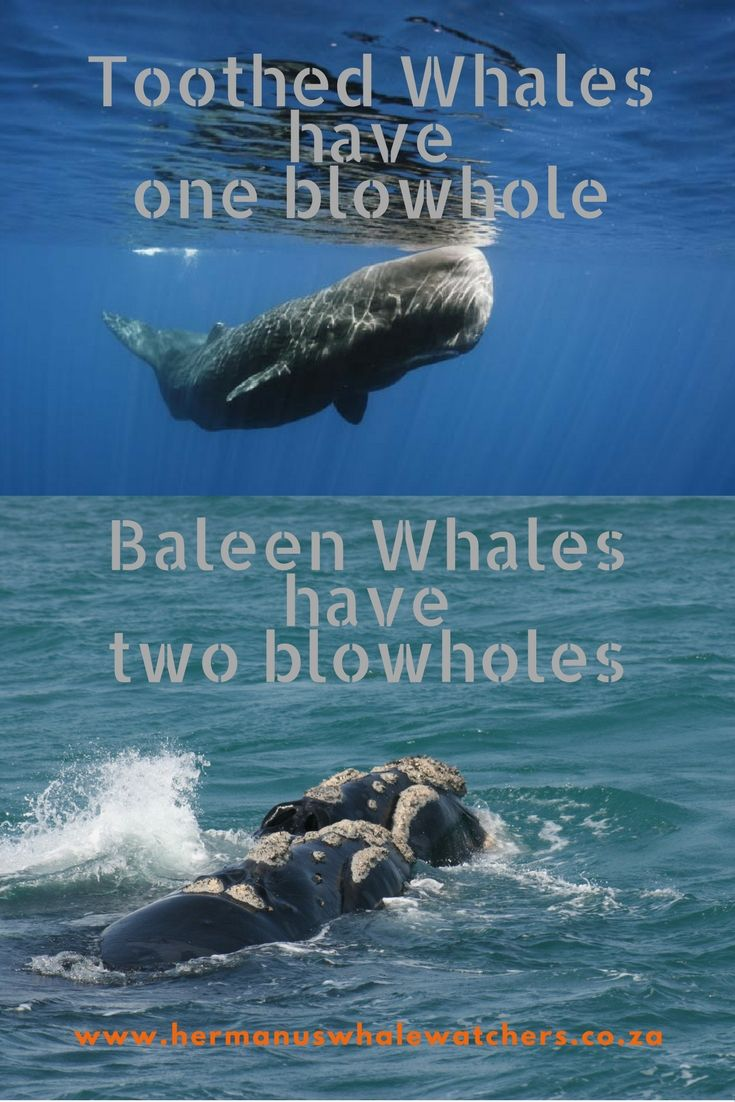While the toothed whale (Odontoceti) only has one blowhole the baleen whale (Mysticeti) has two.
